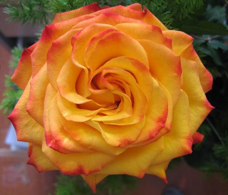 Вот такая чайная роза (ссылка на большую картинку в галерее)